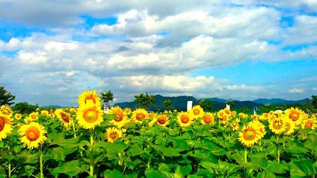 cánh đồng hoa hướng dương Đà Lạt