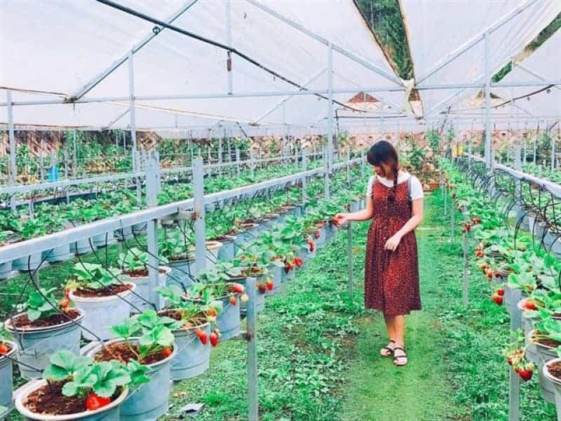 Vườn dâu tây bà lan Đà Lạt